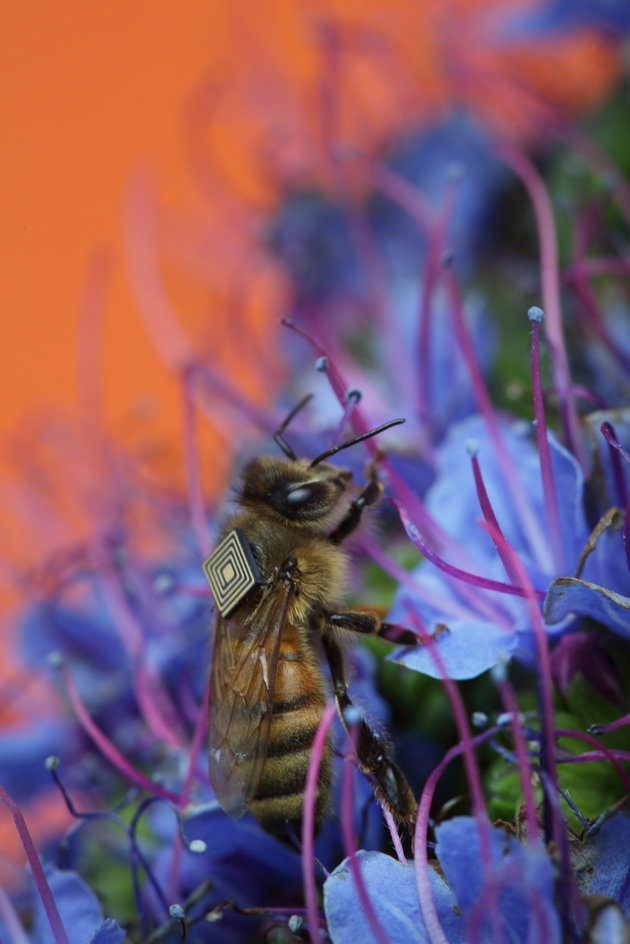 CSIRO has attached RFID tags to the backs of honeybees to track their behaviors.